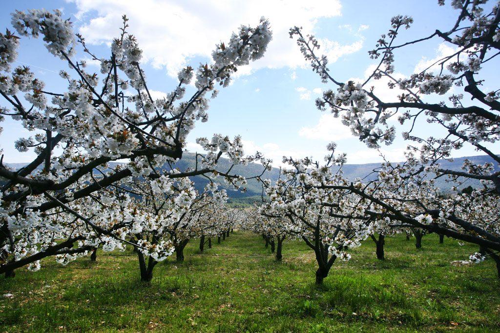 Cerezas de Caderechas, Burgos con Denominación de Origen